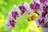 Closeup of purple orchid — Stock Photo