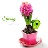 Spring setting with pink hyacinth — Stock Photo