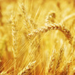 Closeup on golden wheat field — Stock Photo