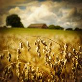Macro of golden oat ears — Stock Photo