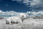 Landscape with cow in white and blue tone — Stock Photo