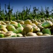 Stock Photo: Freshly harvested pears