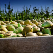 Stockfoto: Freshly harvested pears