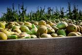 Freshly harvested pears — Stock Photo