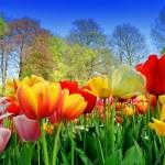 Fresh multicolored tulips — Stock Photo #33319675