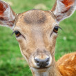Baby deer — Stock Photo #36153481