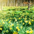 Stock Photo: Daffodils in spring forest