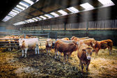 Herd of cows in cowshed — Stock Photo