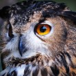 Stock Photo: Wild owl closeup