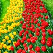 Flower bed multicolored tulips — Photo