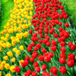 Flower bed multicolored tulips — ストック写真