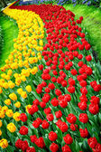 Flower bed multicolored tulips — Foto Stock