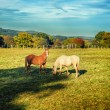Horses at summer farm field — Stock Photo