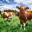 Herd of cows at green field — Stock Photo
