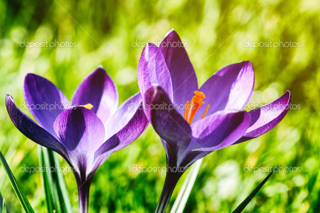 紫色的番红花在春天的花园里– 图库图片