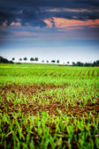 Agricultural field with green sprouts of wheat — Stock Photo