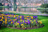 Multicolor crocuses in Keukenhof Gardens — Stock Photo