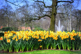 Spring landscape with yellow daffodils — Stock Photo