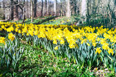 Spring landscape with daffodils — Stock Photo