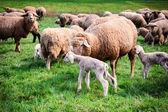 Gregge di pecore presso campo verde — Foto Stock