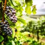 Fresh organic grape on vine branch — Stock Photo #45496995