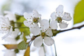 Spring flowers. apple flowers and buds blooming at spring — Stock Photo