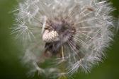 Abstract dandelion flower background, extreme closeup. Big dandelion. — Stockfoto