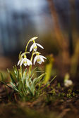 Beautiful fresh snowdrops in early spring — Stock Photo