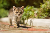 Gray little clumsy kitten — Stock Photo