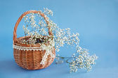 Gypsophila paniculata in the basket, light, airy masses of small — Stock Photo