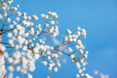 Gypsophila paniculata, light, airy masses of small white flowers — Stock Photo