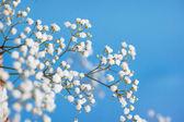Gypsophila paniculata, light, airy masses of small white flowers — Stock Photo