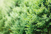A well landscaped  hedge of bushes  boxwood — ストック写真