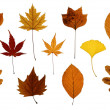 Set of Autumn Leaves Isolated on White - Stock Photo