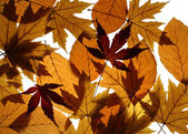 Yellow Maple and Beech Leaves Texture — Stock Photo
