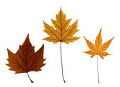 Collection of Autumn Maple Leaves Isolated on White — Stock Photo