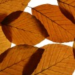Yellow Beech Leaves Texture — Stock Photo