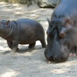 Hippopotamus with Baby - 图库照片