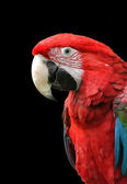 Green-Winged Macaw Isolated on Black — Stock Photo