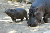 Hippopotamus with Baby — Stock Photo