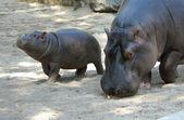 Hippopotamus with Baby — Stock Photo