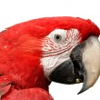 Green-Winged Macaw Isolated on White - Stock Photo