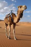Arabian Camel — Stock Photo
