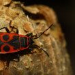 Pyrrhocoris apterus — Stockfoto #13140101