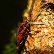 Pyrrhocoris apterus — Stock Photo