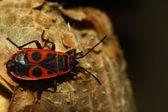 Pyrrhocoris 翅大头粪金龟 — 图库照片