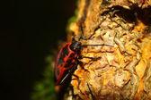 Pyrrhocoris apterus — Foto Stock