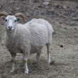 Sheeps — Photo #13279824