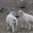 Sheeps — Stockfoto