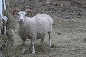 Owce — Zdjęcie stockowe